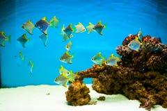 Fiskar i akvarium Fotografering för Bildbyråer