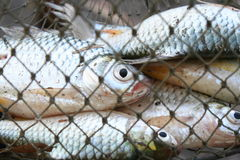 Fiskar i fiskkorgen Arkivfoton