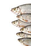 fiskar isolerade white Arkivfoton