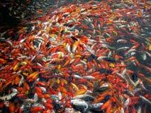 fiskar koi mycket Royaltyfri Foto