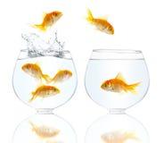 fiskar liten guld Royaltyfri Fotografi