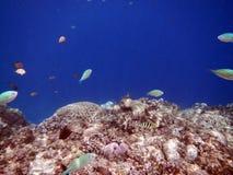 Fiskar och korall i inget hav Royaltyfria Bilder