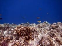 Fiskar och korall i inget hav Royaltyfria Foton