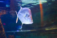 Fiskar på akvariet Dubai Royaltyfri Bild