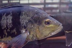 Fiskar som simmar i akvarium Arkivbild