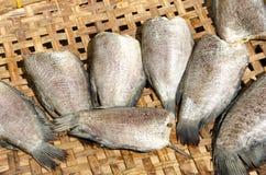 Fiskar (Trichogaster pectoralis) Arkivbilder