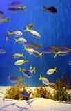 fiskar tropiskt Fotografering för Bildbyråer