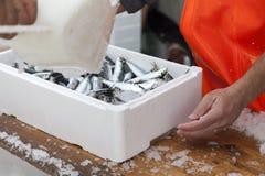 Fiskare förbereder sardiner för trans. Fotografering för Bildbyråer