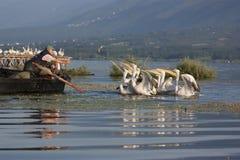 Fiskare som matar den Dalmatian pelikan Royaltyfri Bild