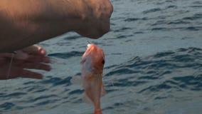 Fiskare som rymmer en nannygai arkivfilmer