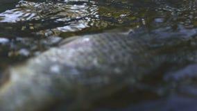 Fiskare som trycker på den döda fisken i förorenat vatten, miljö- katastrof, ekologi stock video