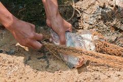 Fiskaren avskiljer Nilentilapiafisken från den netto fällan Arkivfoto
