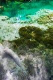 Fiskbad i den kristallklara turkossjön Plitvice nationalpark, Kroatien royaltyfri bild