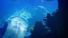 Fiskbad runt om valskelettet under havet lager videofilmer