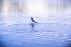 Fiskbanhoppning ut ur vatten på skymning royaltyfria foton