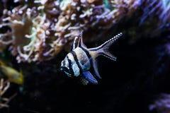 Fiskbehållare med korallliv och Banggai den huvudsakliga fisken Royaltyfria Bilder