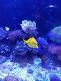 Fiskbehållare med yellowtang fotografering för bildbyråer
