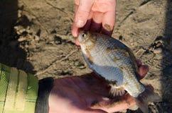 fiskbuffel i händerna för fiskare` s Royaltyfria Bilder