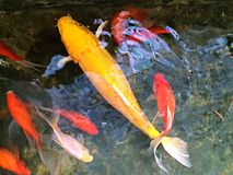 Fiskdamm med fisken Arkivbilder