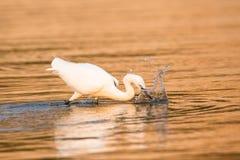 Fiske för nötkreaturägretthäger i guld- vatten Royaltyfria Foton