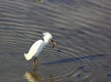 Fiske för snöig ägretthäger Royaltyfri Foto