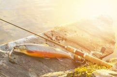 fiske Fisk för arktisk röding på flodstenen Tonat solsken fotografering för bildbyråer
