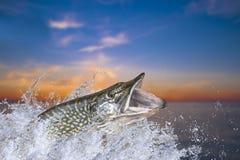 fiske Stor pikfisk som hoppar med att plaska i vatten arkivfoto
