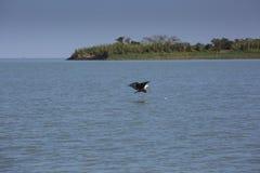 Fiskefågel Fotografering för Bildbyråer