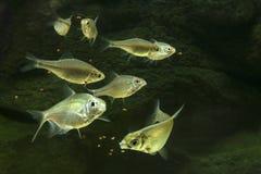 Fisken äter mat Royaltyfria Bilder