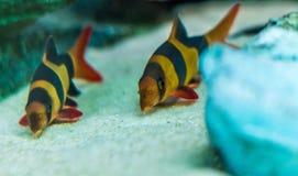 Fisken med två färger gör randig simning arkivbild