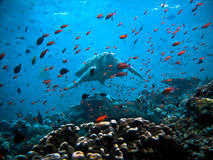 fisken omgav den undervattens- sköldpaddan Royaltyfri Bild