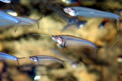 fisken ser Royaltyfria Foton