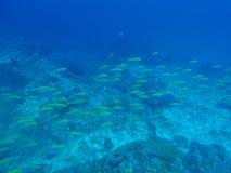 Fisken som är undervattens- på Similan Marine National, parkerar Arkivfoto