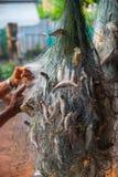 Fisken som fångas i, förtjänar Royaltyfria Bilder