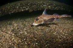 fisken tjaller Royaltyfri Bild