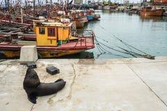 Fiskeport och sjölejon, stad av Mar del Plata, Argentina arkivbilder