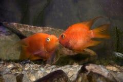 fiskförälskelse royaltyfri fotografi