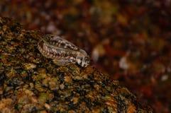 Fiskförklädet sitter på en sten Royaltyfri Foto