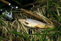 fiskforell Arkivfoton