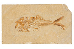 fiskfossil Arkivfoto