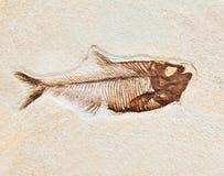 Fiskfossil Arkivbild