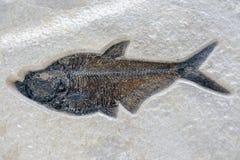 Fiskfossil på sandstenbakgrund Royaltyfri Fotografi