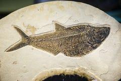 Fiskfossil, slocknat arttryck Arkivbild