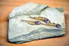 Fiskfossil som isoleras på grå bakgrund Arkivbild
