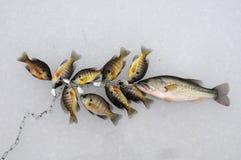 fiskfrilansreporter Royaltyfri Bild