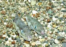 fiskfugu Arkivbilder