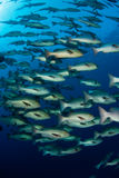 fiskfusion royaltyfria foton