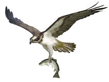 fiskgjuse Royaltyfri Bild