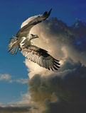 Fiskgjuse i flyg Royaltyfri Foto