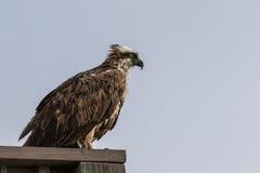 Fiskgjuse J n Ding Darling National Wildlife Refuge Sanibel Royaltyfri Fotografi
